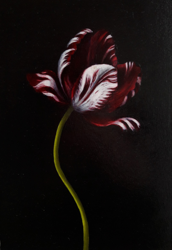 Red and white tulip - Anne-Marie Mackor